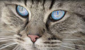 Raças de gato
