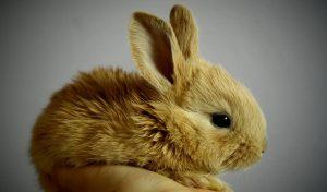 Vacina para coelho - Mixomatose e Doença Hemorrágica Viral